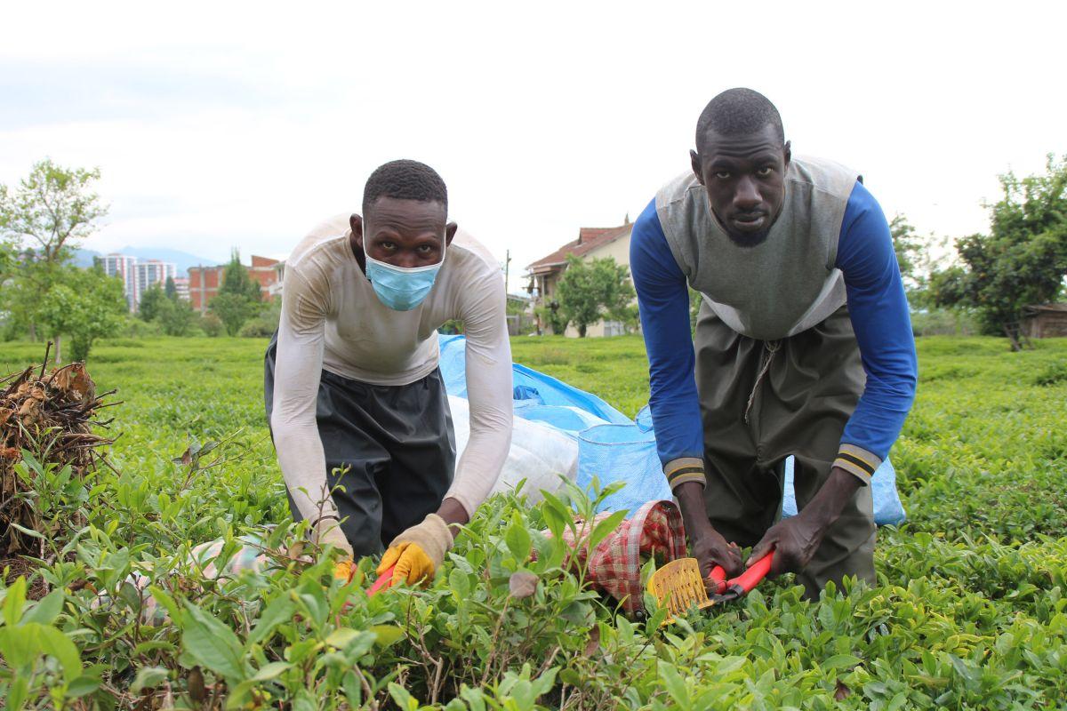 Rize de Afrikalı işçiler, bu yıl da çay topluyor #5
