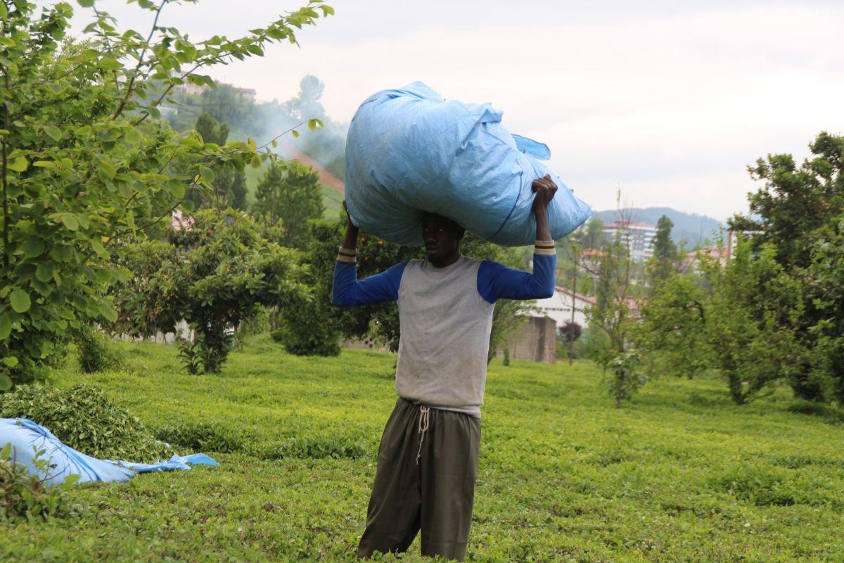 Rize de Afrikalı işçiler, bu yıl da çay topluyor #7