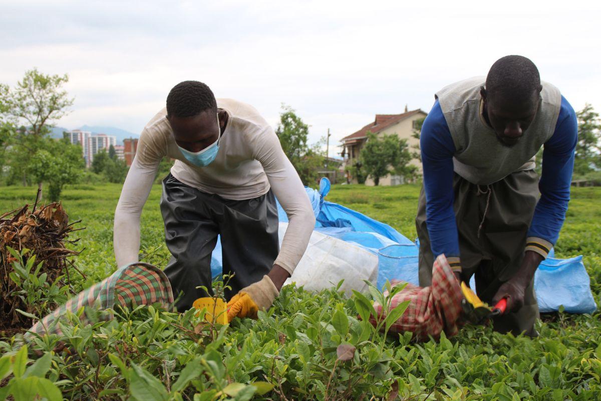 Rize de Afrikalı işçiler, bu yıl da çay topluyor #3