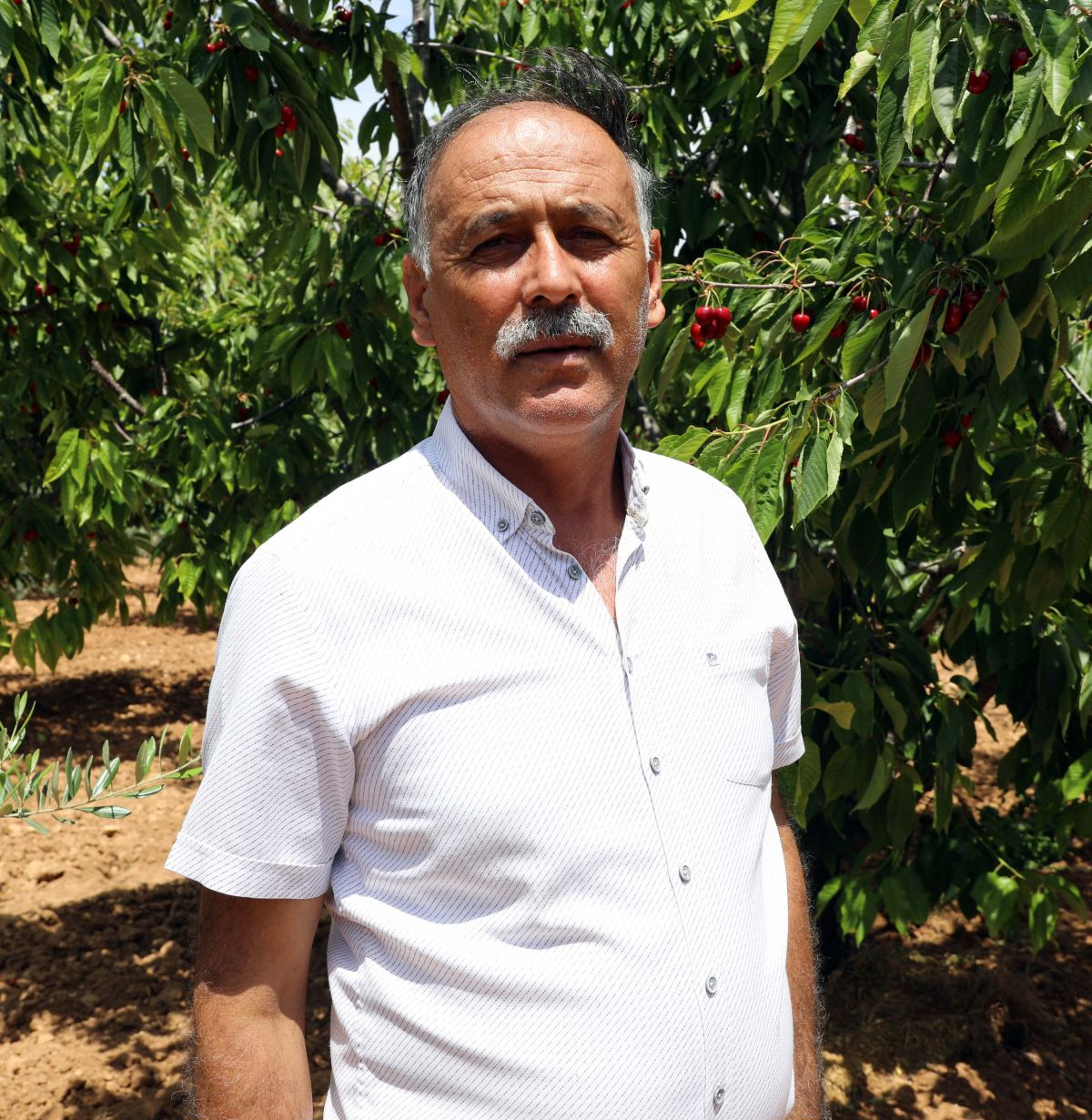 Gaziantep te hasadına başlanan kiraz, 40 ülkeye gönderiliyor #8