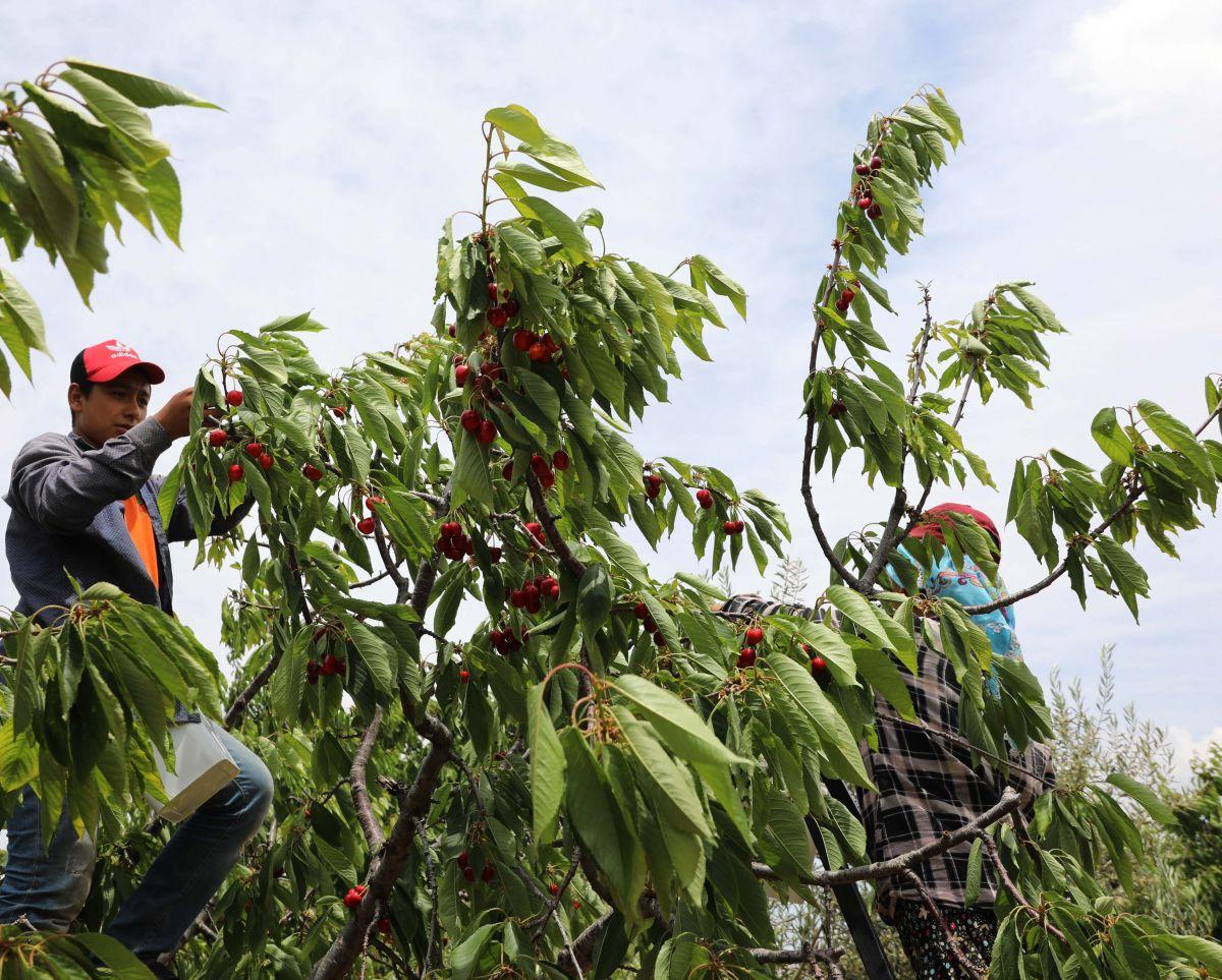 Gaziantep te hasadına başlanan kiraz, 40 ülkeye gönderiliyor #7