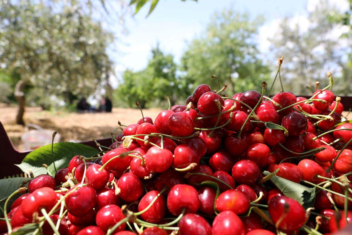 Gaziantep te hasadına başlanan kiraz, 40 ülkeye gönderiliyor #6