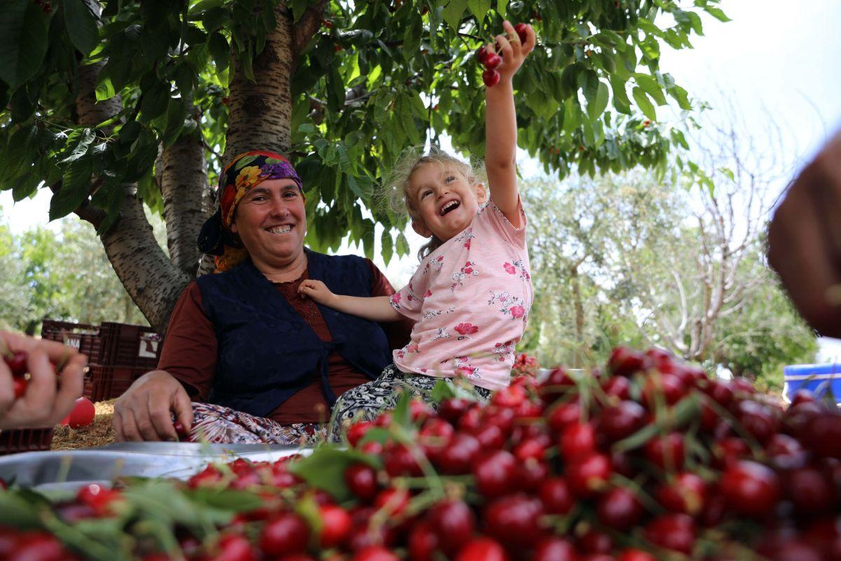 Gaziantep te hasadına başlanan kiraz, 40 ülkeye gönderiliyor #1