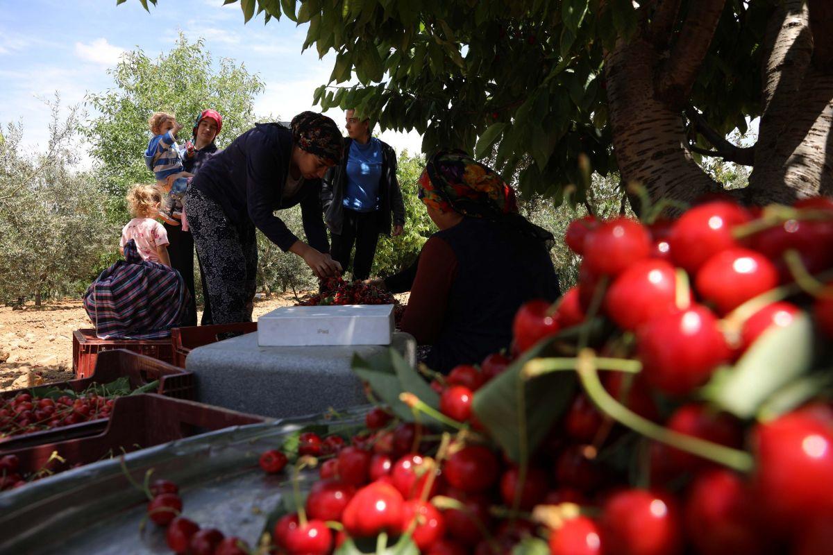 Gaziantep te hasadına başlanan kiraz, 40 ülkeye gönderiliyor #4