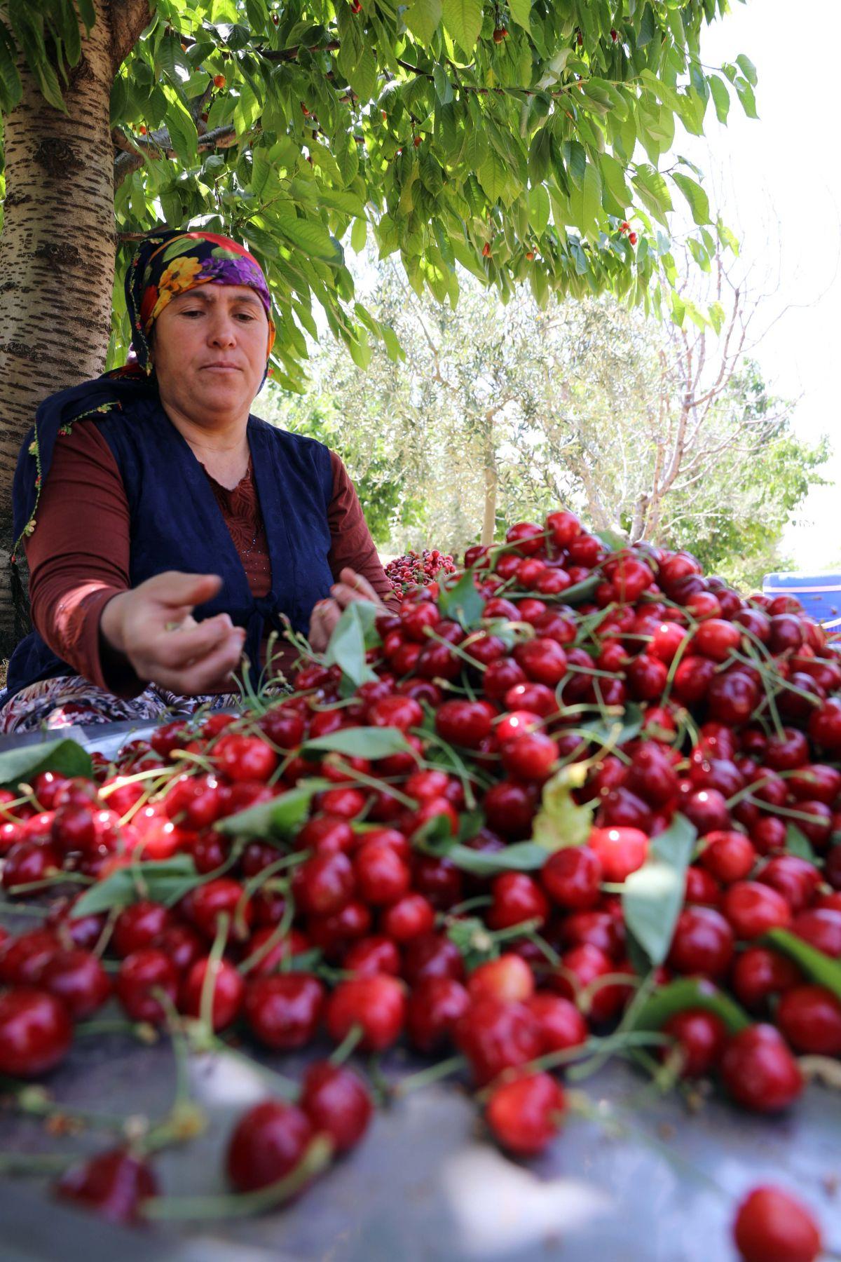 Gaziantep te hasadına başlanan kiraz, 40 ülkeye gönderiliyor #3