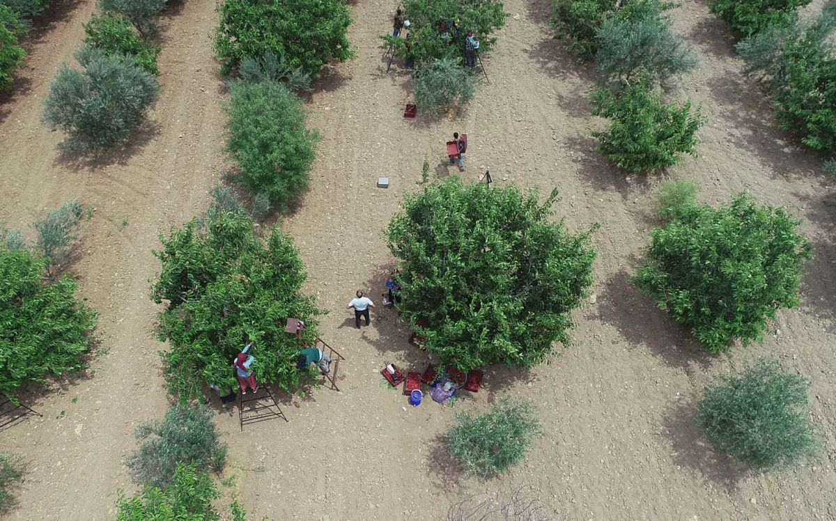 Gaziantep te hasadına başlanan kiraz, 40 ülkeye gönderiliyor #2