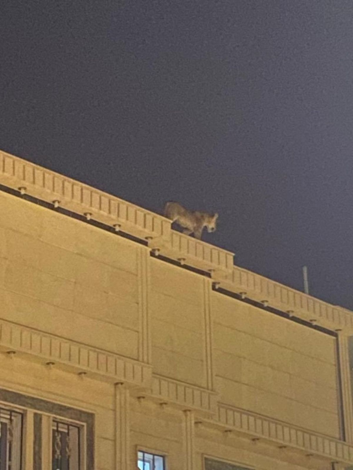 Suudi Arabistan da evin çatısında aslan dolaştı #1