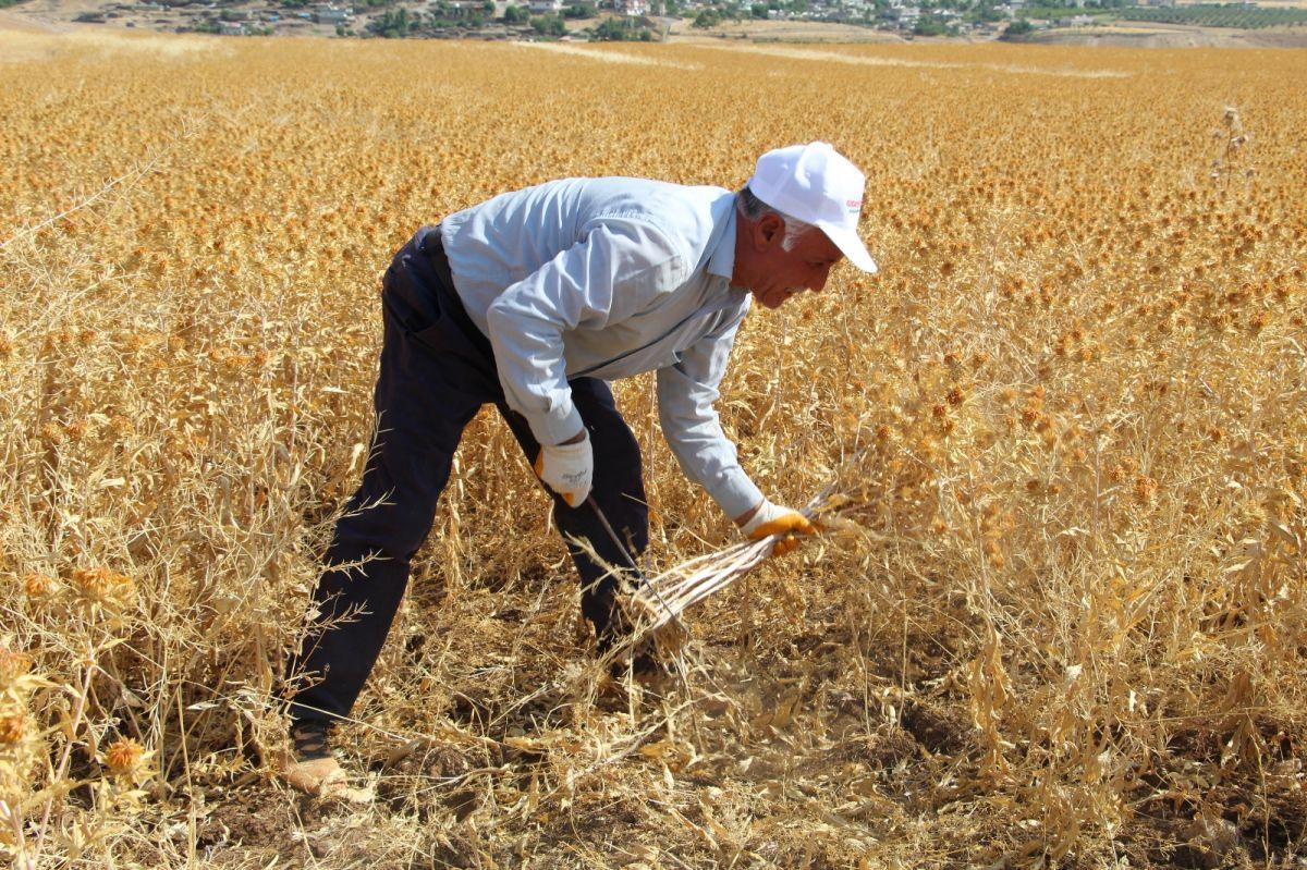 Şırnak'ta çiftçiler ilk defa aspir hasadı yaptı #3