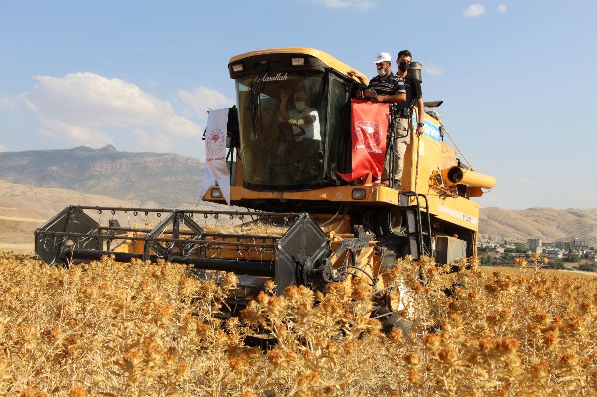 Şırnak'ta çiftçiler ilk defa aspir hasadı yaptı #1