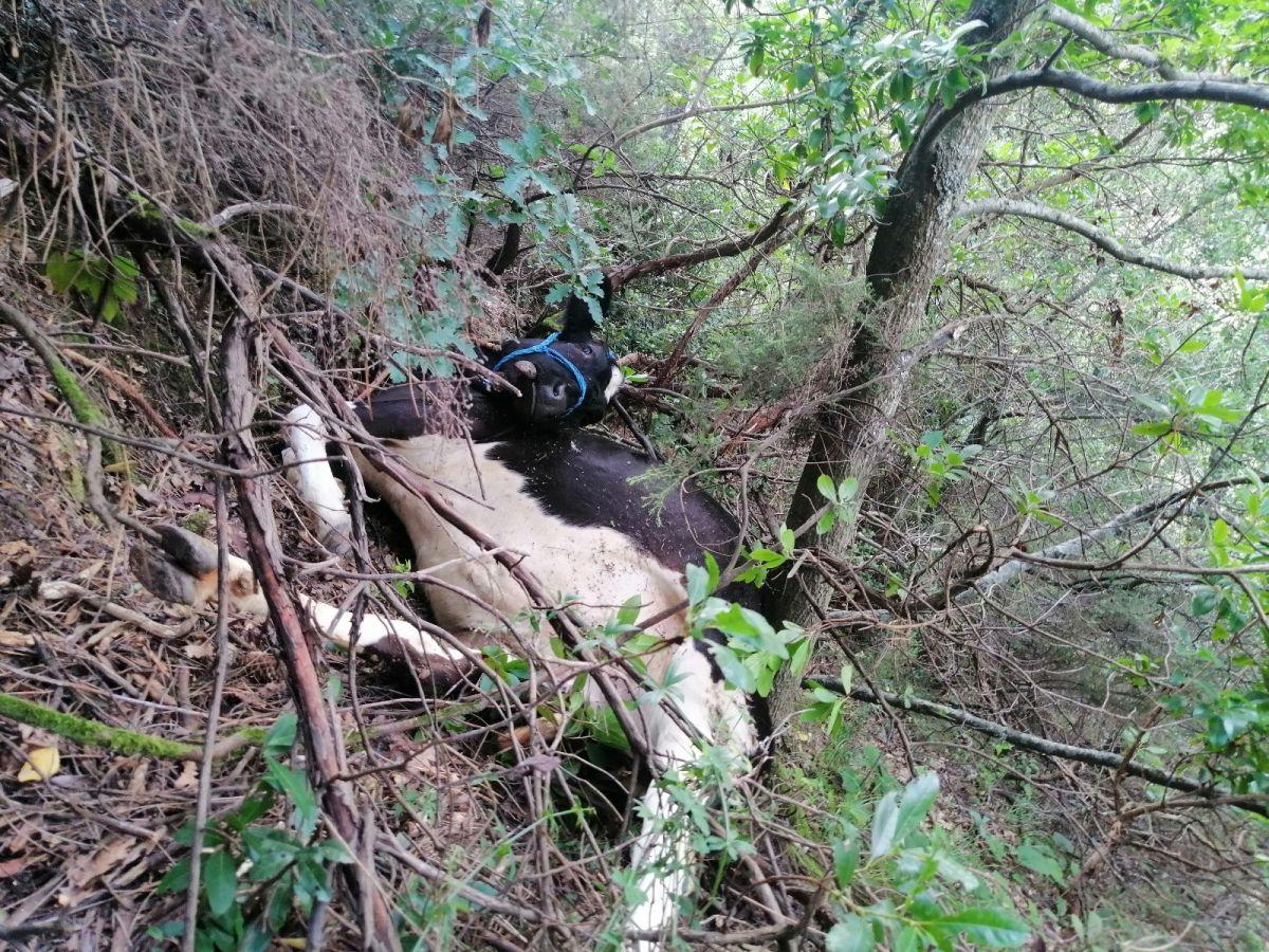 Kocaeli de uçurumdan yuvarlanan büyükbaş hayvan, düştüğü yerde kesildi #2