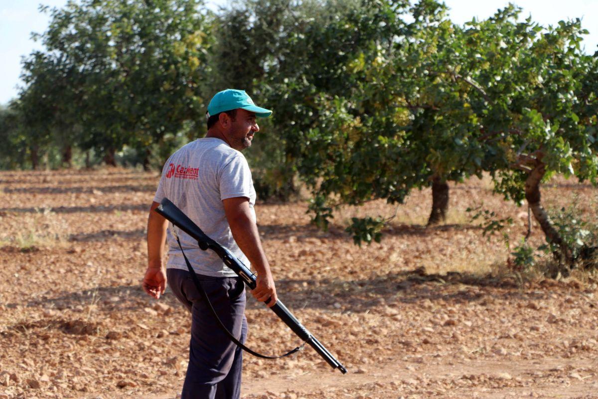 Gaziantep te bekçiler, silahla Antep fıstığı nöbeti tutuyor #8