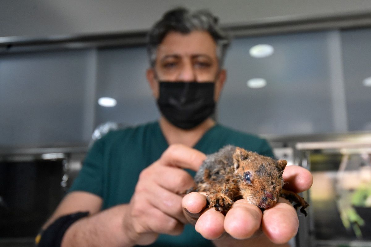 Antalya da alevlerden çıkarılan sincap, yoğun bakıma alındı #4