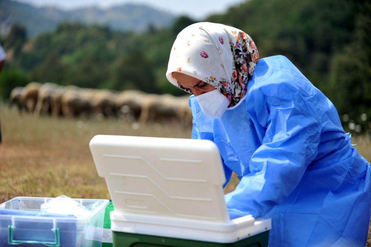 Bursa da çobanlar, yaylada koyun otlatırken aşılarını oldu #9