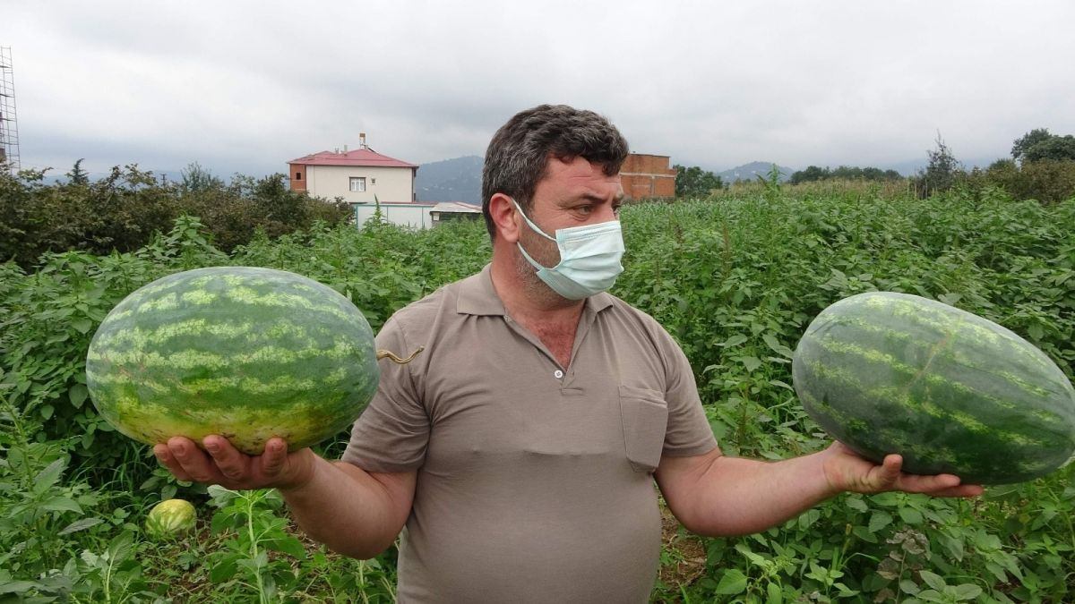 Trabzon un Yalıncak karpuzu tarlada çürüdü #2
