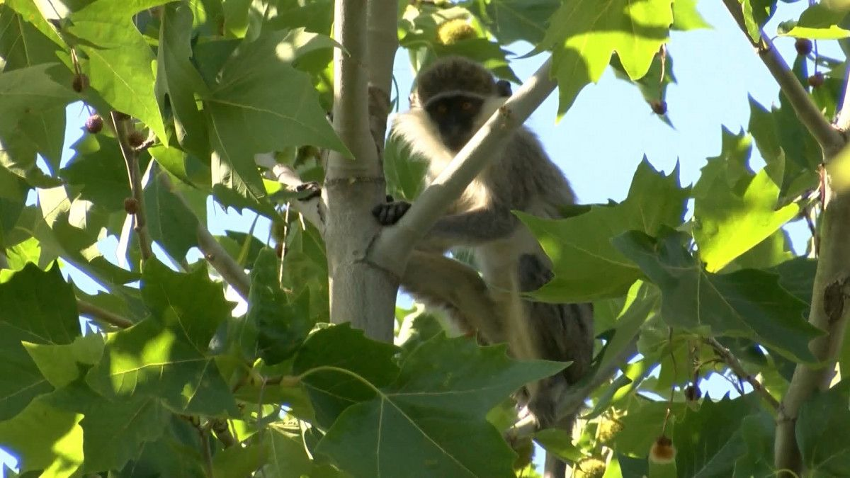 Ankara da hayvanat bahçesinden maymun kaçtı #6