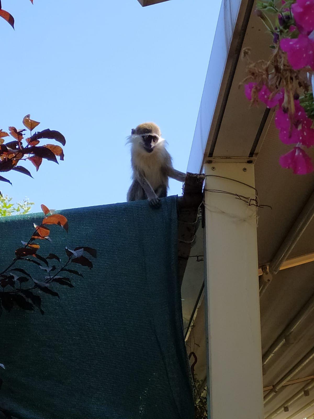 Ankara da hayvanat bahçesinden maymun kaçtı #1