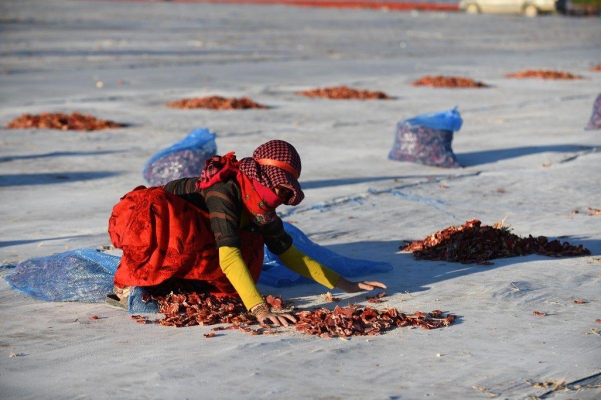 Erciyes eteklerinde kuru domates mesaisi #4