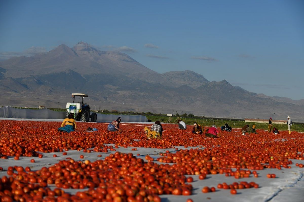 Erciyes eteklerinde kuru domates mesaisi #1
