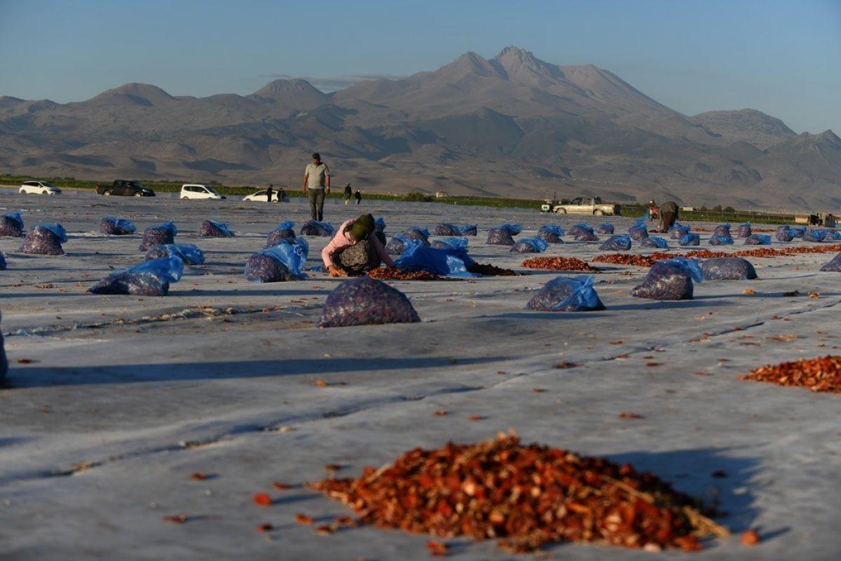 Erciyes eteklerinde kuru domates mesaisi #10