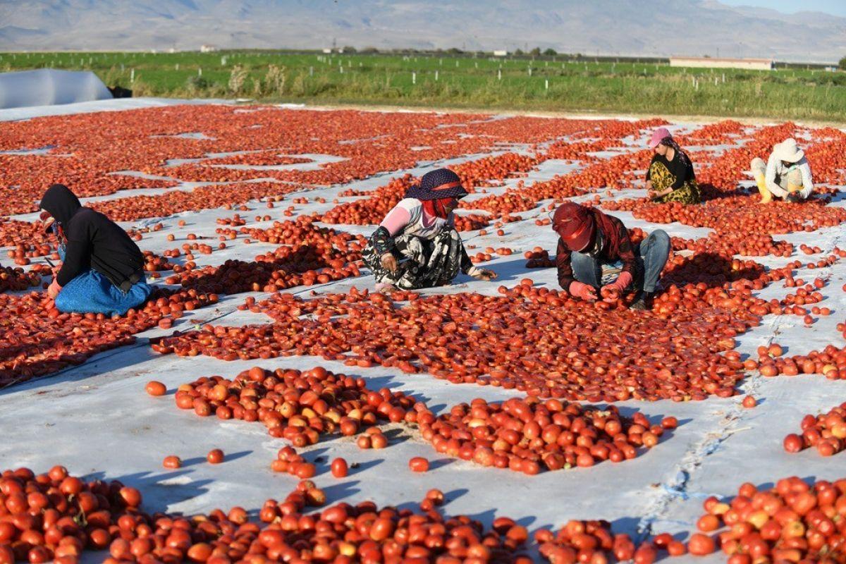 Erciyes eteklerinde kuru domates mesaisi #9