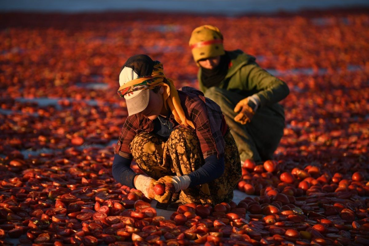 Erciyes eteklerinde kuru domates mesaisi #2