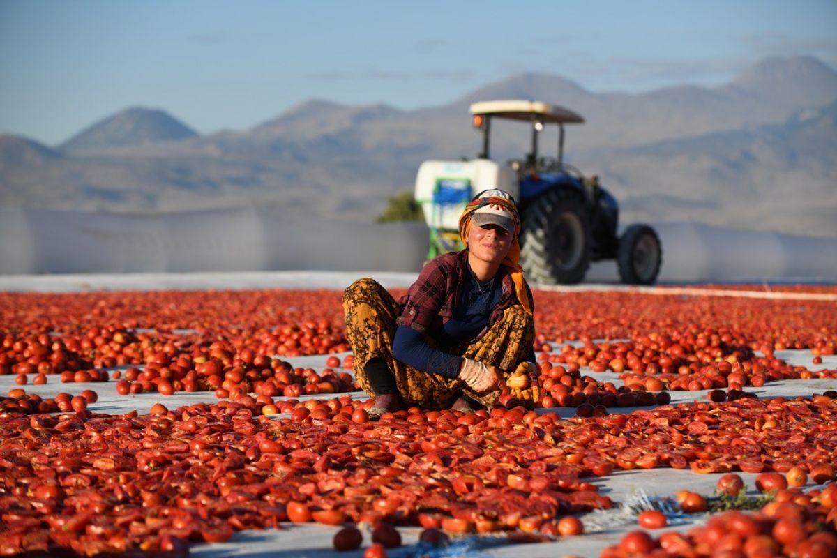 Erciyes eteklerinde kuru domates mesaisi #5