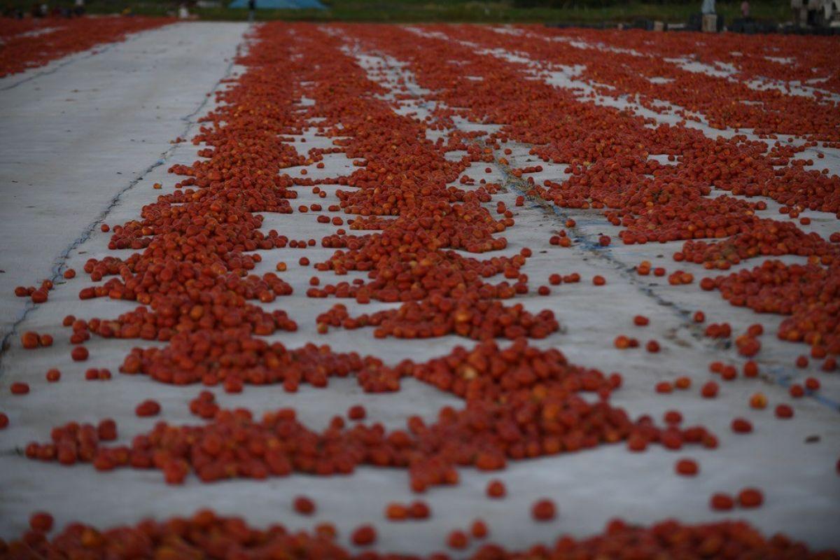 Erciyes eteklerinde kuru domates mesaisi #12