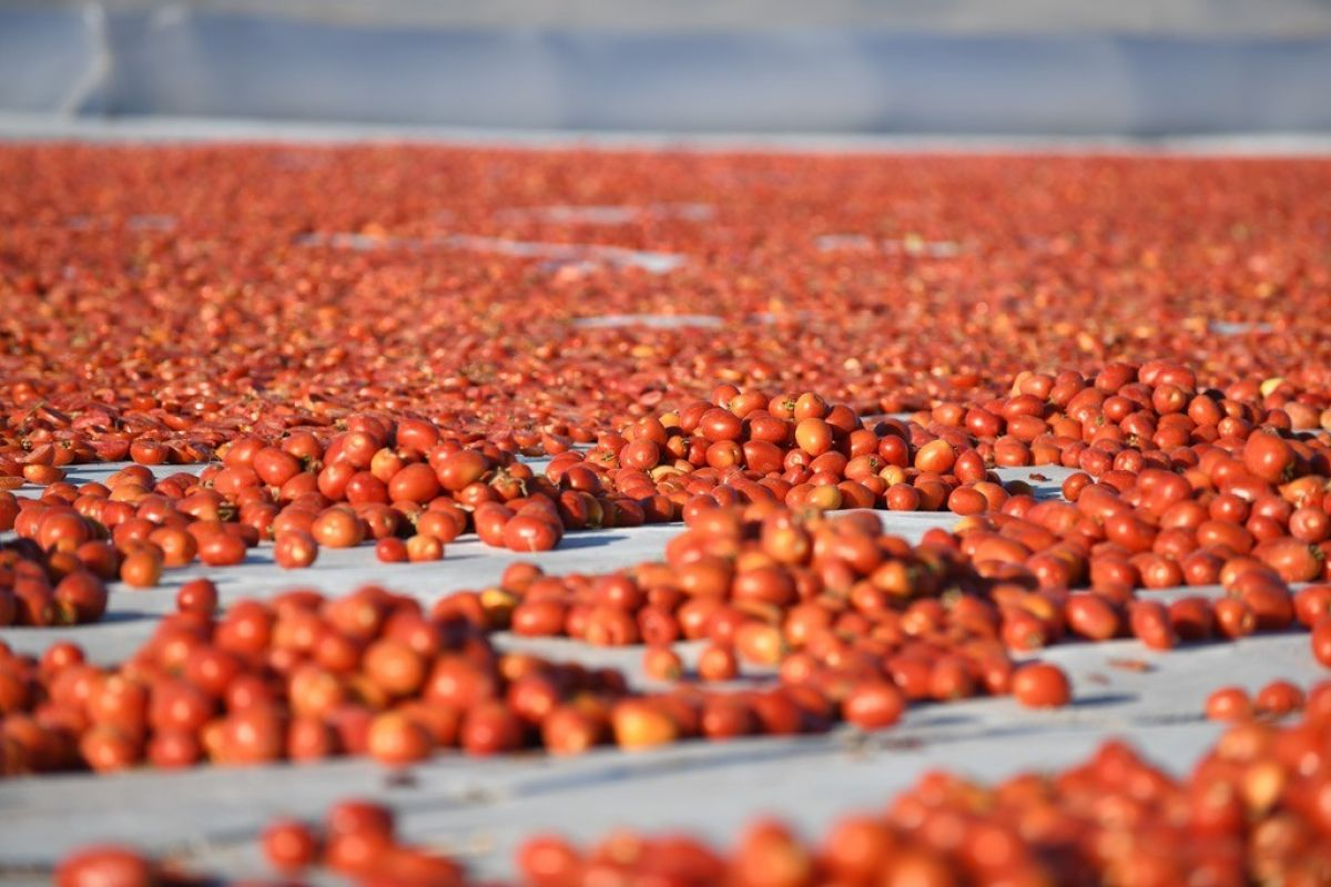Erciyes eteklerinde kuru domates mesaisi #7