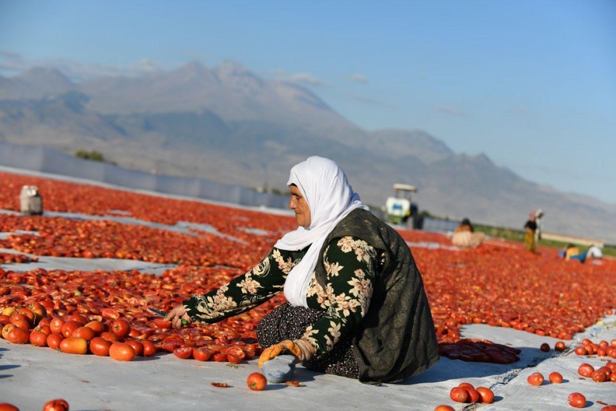 Erciyes eteklerinde kuru domates mesaisi #8