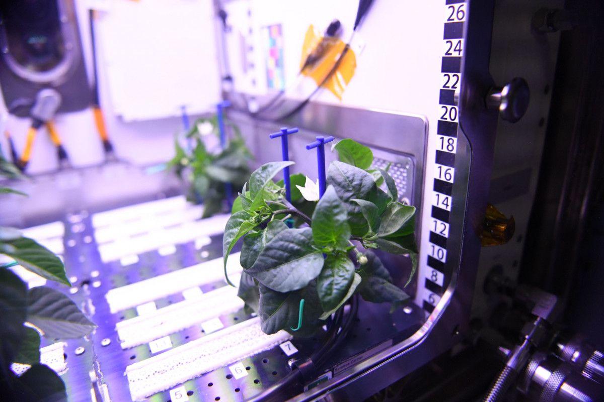 NASA astronotu: Uzayda biber fideleri çiçek açtı #1