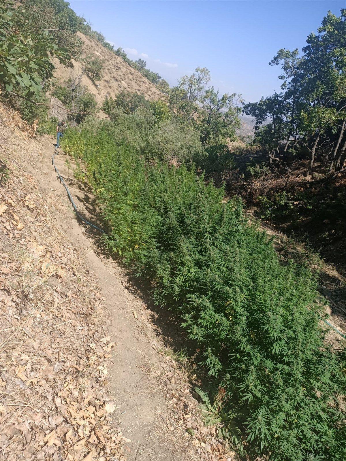 Bingöl'de bin 100 kök kenevir ve 21 kilo esrar ele geçirildi #2