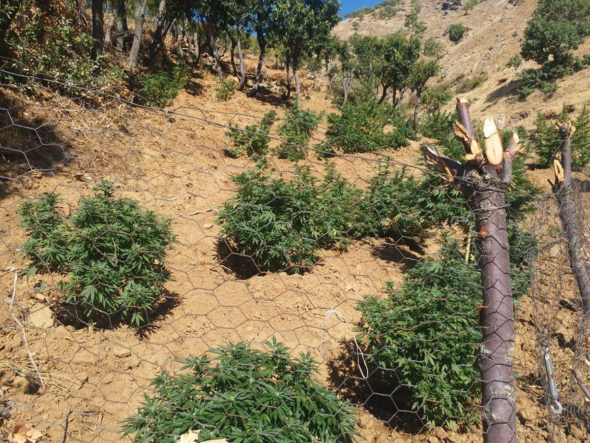Bingöl'de bin 100 kök kenevir ve 21 kilo esrar ele geçirildi #3