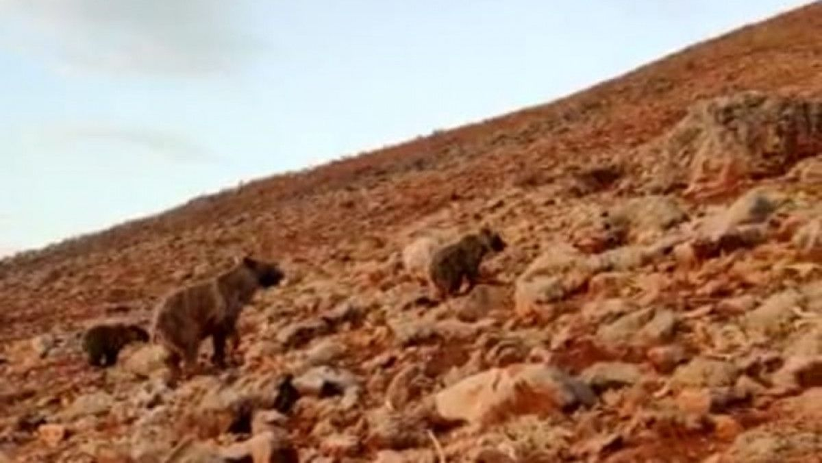 Tunceli de anne ve yavru ayılar koyunlara saldırdı #1