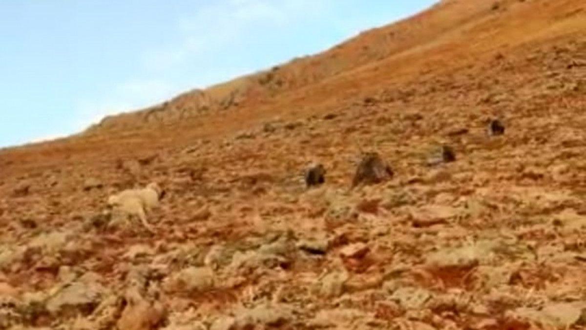 Tunceli de anne ve yavru ayılar koyunlara saldırdı #3