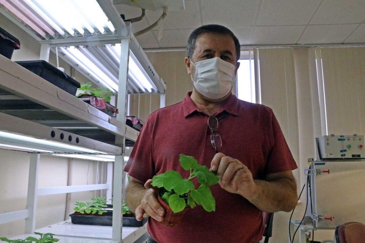 Koronavirüse karşı bitkiden üretilen kokteyl aşı, insan deneyine hazır #6