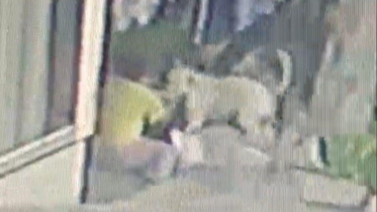 Başakşehir'de 16 yaşındaki kıza Pitbull saldırısı kamerada