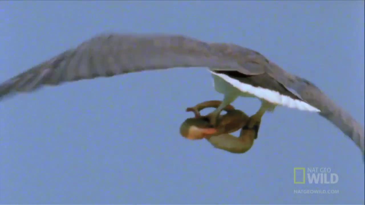 Kartal deniz yılanını avladı -izle