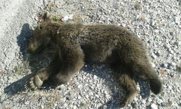 Aracın çarptığı ayı yavrusu telef oldu