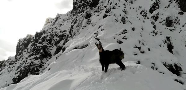 Drone ile çengel boynuzlu dağ keçisini görüntüledi