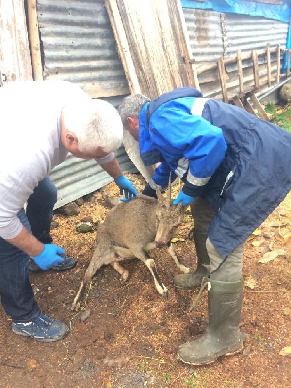 Avcıların vurduğu keçi tedavi edildi