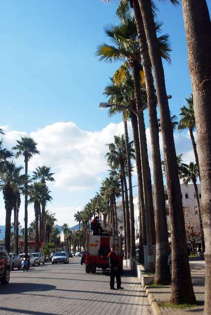 Marmaris ve Datça'ya palmiye girişi yasaklandı