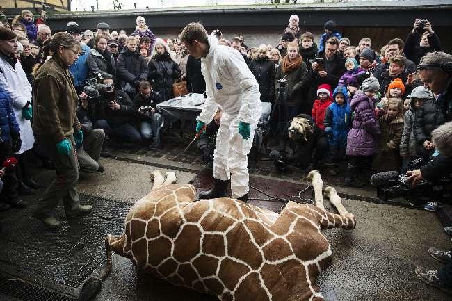 Danimarka'da bir zürafa daha öldürülebilir