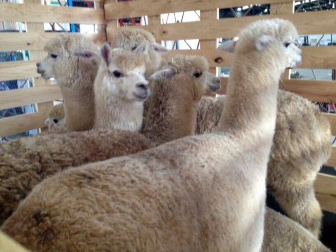 Avusturalya'dan Türkiye'ye 9 Alpaka devesi getirildi