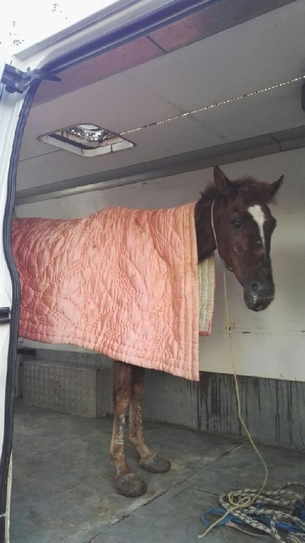 Büyükada'da ölüme terk edilen at kurtarıldı