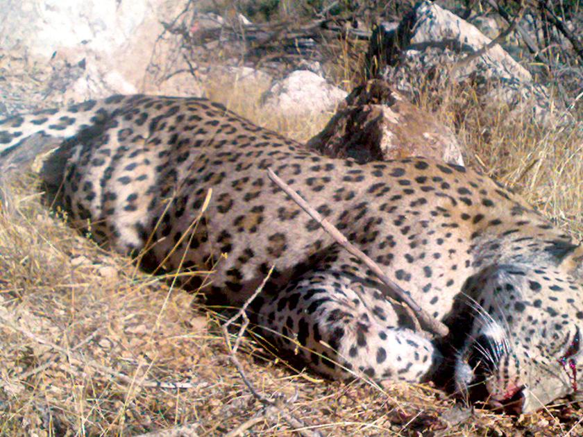 Anadolu'nun son leoparı Siirt'ten çıktı