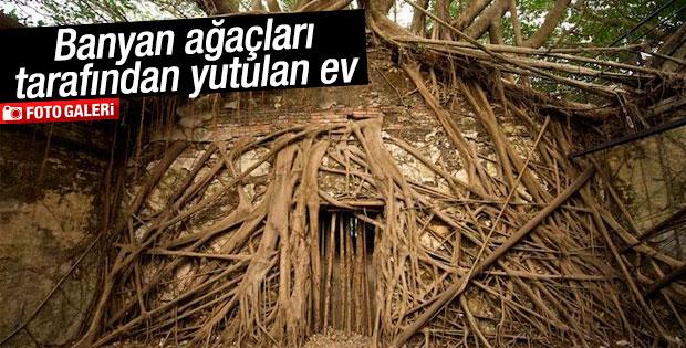 Banyan ağaçları tarafından yutulan ev