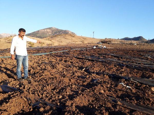 Domuz sürüleri çilek tarlalarını talan etti