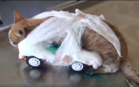 Ayakları kesilen kediye oyuncak arabadan ayak yapıldı İZLE