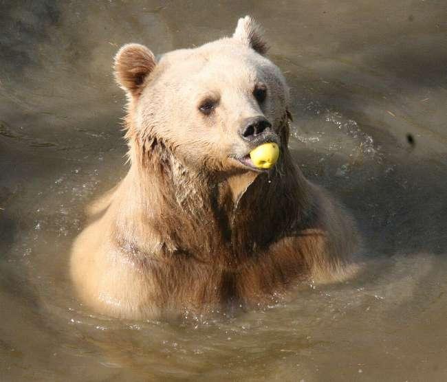 Sıcaklıklar ayıları da etkiledi: Kış uykusuna yatmadılar