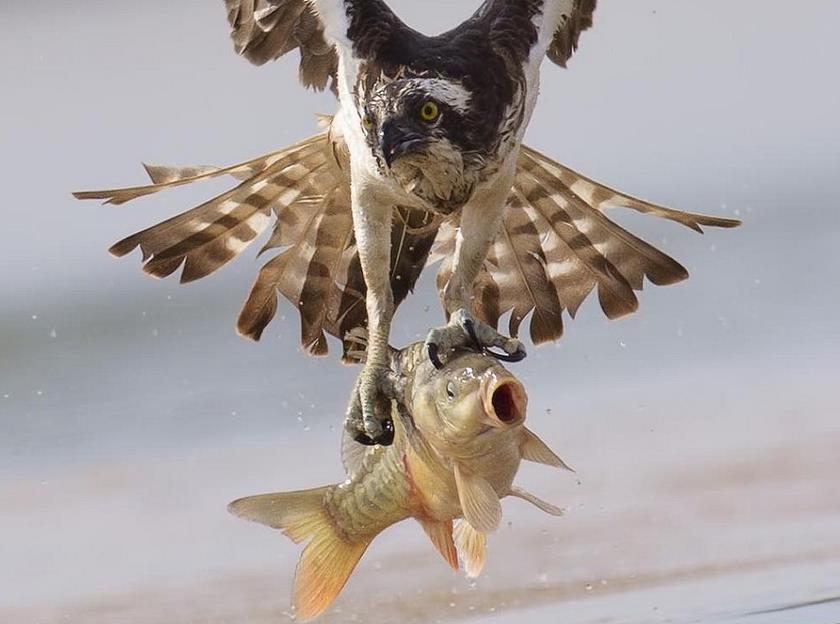 Fotoğrafçısı Cepulis kartalın balık avlama anını yakaladı